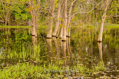 Peaceful Pond (Gretchen Day Photography) Tags: forest grass green lake peaceful pond reflection tree woods