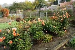 NB  -  Weg zum Garten IMG_1601 (nb-hjwmpa) Tags: neubrandenburg dahlien garten garden flower blumen mecklenburg kleingarten