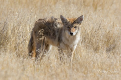 October 21, 2016 - A young coyote on the prowl. (Tony's Takes)