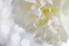 flutter a white dress/ (kurupa_m) Tags: flower plant white xt10