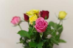 Roses (Jackassp) Tags: adelaide pentaxfa31limited pentaxk1 pentaxlife singleindecember2016