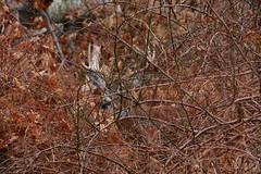 Incognito (thetrick113) Tags: whitetaildeer whitetail deer mammal animal nature ulstercountynewyork hudsonvalley hudsonrivervalley ruminant ruminantanimal antlers eightpointbuck eightpoint brambles thorns multiflorarose sonyslta65v fall autumn autumn2016 morning firstlight