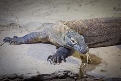 Komodowaran (DeanB Photography) Tags: komodowaran zoo leipzig gondwanaland tier tiere echse reptil reptilien kriechtiere