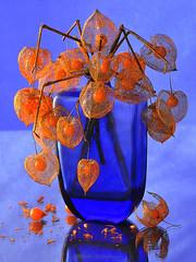 Physalis en dentelle (Hélène Quintaine) Tags: physalis fruit plante création composition vase bouteille automne lanterne cagedamour reflet boule fleur dentelle bleu orange naturemorte décembre
