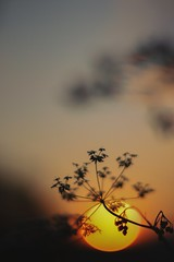 throwback (evahgrf) Tags: evening sunset sun set flower flowers plant plants shadow silhouette dark darkness bokeh nature outside germany focus canon 500d 14 evahgrf 2013 may