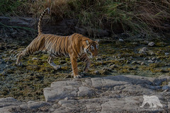 Tiger Crossing (fascinationwildlife) Tags: animal mammal big cat bengal tiger female creek wild wildlife nature natur national forest djungle summer asia india ranthambhore predator tigress