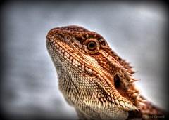 It's Alive! - Bearded Dragon (zendt66) Tags: zendt nikon d7200 nikkor 105mm micro macro macromondays monday beardeddragon lizard zendt66 macromonday hdr photomatix