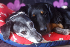 Sharing. (Dogloverlou) Tags: tyler cash hovawart bed sleeping sharing together home 2016