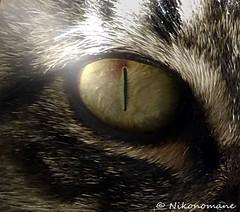 Lucifer's Eye (Nikonomane) Tags: lucifers eye cat occhi occhio sauron