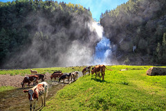 105808_AB_6034 (aud.watson) Tags: europe norway sognogfjordane hulderfossen farm school river watercourse waterfall cattle cows cow calves calf pasture route e39