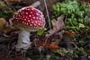 November Fly Agaric 2016 II (boettcher.photography) Tags: mushroom pilz natur nature november herbst autumn fall makro macro flyagaric fliegenpilz germany deutschland sashahasha boettcherphotography