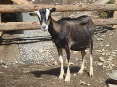 Goat_Posing_Nicely (Abbey_L) Tags: alps animal day5dentdeverrue france frenchalps goat mammal outbreakadventure samoens tjpio