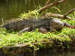 Iguana iguana (Luis G. Restrepo) Tags: p2200938 iguana greeniguana iguanaiguana reptil reptile lizard támesis antioquia colombia southamerica