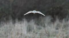 Barn Owl (image 1 of 3) (Full Moon Images) Tags: wildlife nature cambridgeshire fens east anglia bird prey birdofprey flight flying barn owl