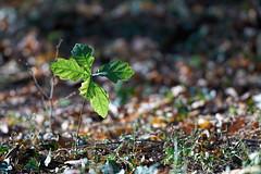 Young Life (Ernst_P.) Tags: 135mm aut baum blatt botanischergarten eiche innsbruck österreich pflanze samyang tirol walimex