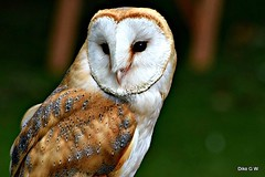 Barn Owl (Diko G.W.) Tags: barnowl eastyorkshire bird owls thelook thegallery tinyworlds lisafriends