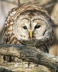 Barred Owl (JBOTCH) Tags: barred owl cleveland ohio metroparks raptor brid photography