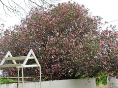 oleander  Nerium indicum    (Sheila's collection) Tags: oleander  apocynaceae
