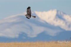 December 30, 2016 - A Northern Harrier patrols the plains of Adams County. (Tony's Takes)