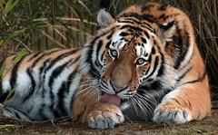 siberian tiger Beekse Bergen JN6A5229 (j.a.kok) Tags: tijger tiger siberischetijger siberiantiger pantheratigrisaltaica beeksebergen mammal zoogdier predator roofdier kat cat azie asia siberie