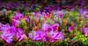 """Ecosistemas - La Sierra de Devasa - Isla de Sâo Miguel Archipiélago de las Azores //Ecosystems (ANDROS images) Tags: andros images photos fotos fotoandros """"androsphoto"""" """"fotoandros"""" lugares places """"sitiosespeciales"""" """"franciscodomínguez"""" interesante naturaleza """"naturalezaviva"""" """"amoralanaturaleza"""" """"imágenesdenuestromundo"""" """"sólotenemosunatierra"""" """"planetatierra"""" """"amarlatierra"""" """"cuidemoslatierra"""" luz color tonos """"portierrasespañolas"""" """"nuestro """"unahermosatierra"""" """"reflejosdeluz"""" pasión viviendo """"pasiónporlafotografía"""" miradas fotografías """"atravésdelobjetivo"""" """"elmundoenimágenes"""" pictures androsphoto photoandrosplaces placesspecialsites interesting differentnaturelivingnature loveofnature imagesofourworld weonlyhaveoneearthplanetearth foracleanworldlovetheearth carefortheearth light colortones onspanishterritoryourworld abeautifulearth lightreflection """"living passionforphotographylooks photographs throughthelens theworldinpicturesnikon """"nikon7000"""" grupodemontañairis androsimages franciscodomínguezrodriguez azores rododendros pétalos flor"""