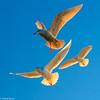 Gulls-Esquimalt Lagoon (david byng) Tags: esquimaltlagoon victoria beach winter vancouverisland pacificocean birds canada britishcolumbia colwood 2017