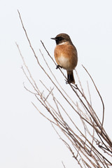 Posed (ramosblancor) Tags: naturaleza nature animales wildlife aves birds tarabillacomúneuropea saxicolarubicola saxrub europeanstonechat posado posed perched macho male otoño autumn madrid