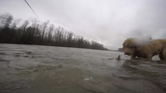Catch and release, only Skye wouldn't let it go (_Kickstand) Tags: skagitriver skye chumsalmon flyfishing