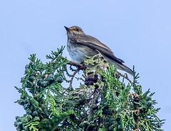 Spotted flycatcher (bojc08) Tags: sigma150500mmf5063apohsmdgafos birds bird animal wildlife sony spottedflycatcher spotted flycatcher 150500mm f563 sigma dslra580 muscicapastriata