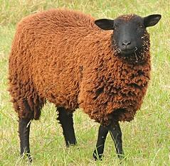 friendly black sheep (sabrina. G) Tags: schaf schwarz freundlich frisst spaziergang herbst oktober portrait ngc
