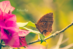 At the Bougainvillea Station... (BlueLunarRose) Tags: commonpalmfly elymniashypermnestra butterfly insect bug wings bougainvillea pink purple green brown light bokeh nature glow beauty macro closeup tree leaves flowers sal75300 sonyalphadslra200 bluelunarrose