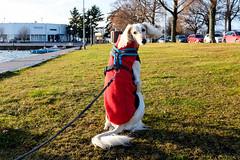 Miko (Tenho Mikkolainen Personal) Tags: helsinki finland fujifilm fujifilmx x100s dog dogs dogslife saluki miko kaivopuisto