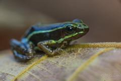 frog (Guldenfels-photos) Tags: frog ecuador equateur serpent lezard lizard grenouille verte green yellow nikon d800 macro tropical blue i am