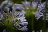 Aggie and George (Ptolemy the Cat) Tags: agapanthus flowers garden blue bokeh blur nature nikond600 nikkorf8500mmreflexlens starsofbethlehem