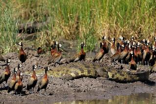 Dendrocygna viduata & Crocodylus niloticus