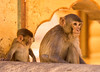 Impressions of India – 4 (Chizuka2010) Tags: monkeys rhesusmacaques monkeytemple india jaipur animal animalphotography travel voyage chizuka2010 luciegagnon rajasthan