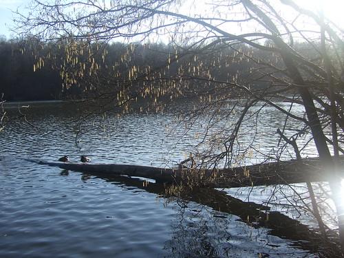 Canards sur un tronc