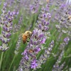 Lavender farm, where bees are captivated by the nectar and hence I managed to placed my phone at a few inches away to snap this (PsJeremy) Tags: bees lavendar