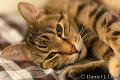 Stripes (DJL329) Tags: feline portrait canon 5dmarkii ef85mmf18