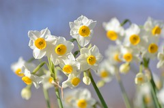narcissus (snowshoe hare*) Tags: dsc0805 flowers narcissus botanicalgarden 海の中道海浜公園 水仙 winter