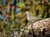 Peaceful Dove (Geopelia striata) (Arturo Nahum) Tags: darwin northernterritory australia wildlife aves animal birdwatcher bird pajaros canoneos7dmkii
