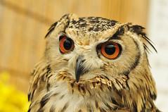 Big eyes(大きな目) (daigo harada(原田 大吾)) Tags: eye フクロウ 目