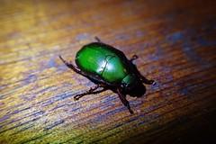 Anomala sp. (Scarabidae) - Ipoh, Malaysia. (Entomology Is A Gang) Tags: nature beetle malaysia ipoh scarab entomology coleoptera insecta scarabidae anomala