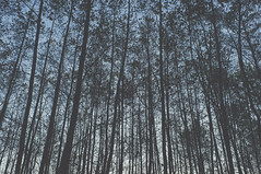Moody Gradient Trees (Tomasz Brue) Tags: trees tree nature forest landscape moody