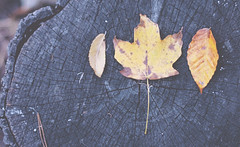 October (Shayna.Mitchell) Tags: fall leaves yellow october stump 2014 shaynamitchell