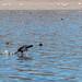 E patos que andam sobre a água