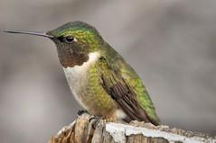 2014 Ruby-throated Hummingbird 5 (Explore #30 11/8/14) (DrLensCap) Tags: bird robert wisconsin hummingbird wi kramer rubythroated sprague platinumheartaward