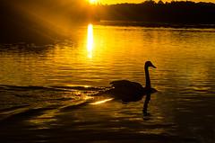 Swan silhouette (SimonLea2012) Tags: autumn light lake water pool sunrise golden swan