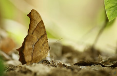 Evening brown butterfly (Rhivu_Ray) Tags: november brown india nature butterfly asia wildlife southasia westbengal 2014 nymphalidae melanitisleda kharagpur eastof brownwings brushfootedbutterfly westmedinipur fourfootedbutterfly byrhitamvarray browneveningbutterfly