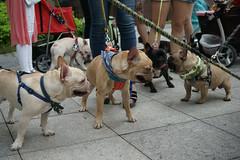 MEETING (Hsuanya Tsai) Tags: dog sony taiwan bulldog frenchbulldog taipei fe fullframe alpha ze f40 2470mm a7r emount sonya7r ilce7r sel2470z fe2470mmf40